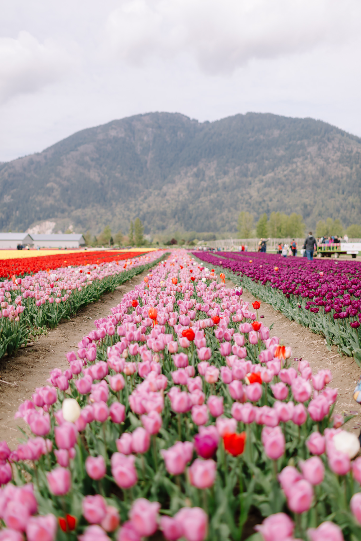 Tulip Festival in Chilliwack
