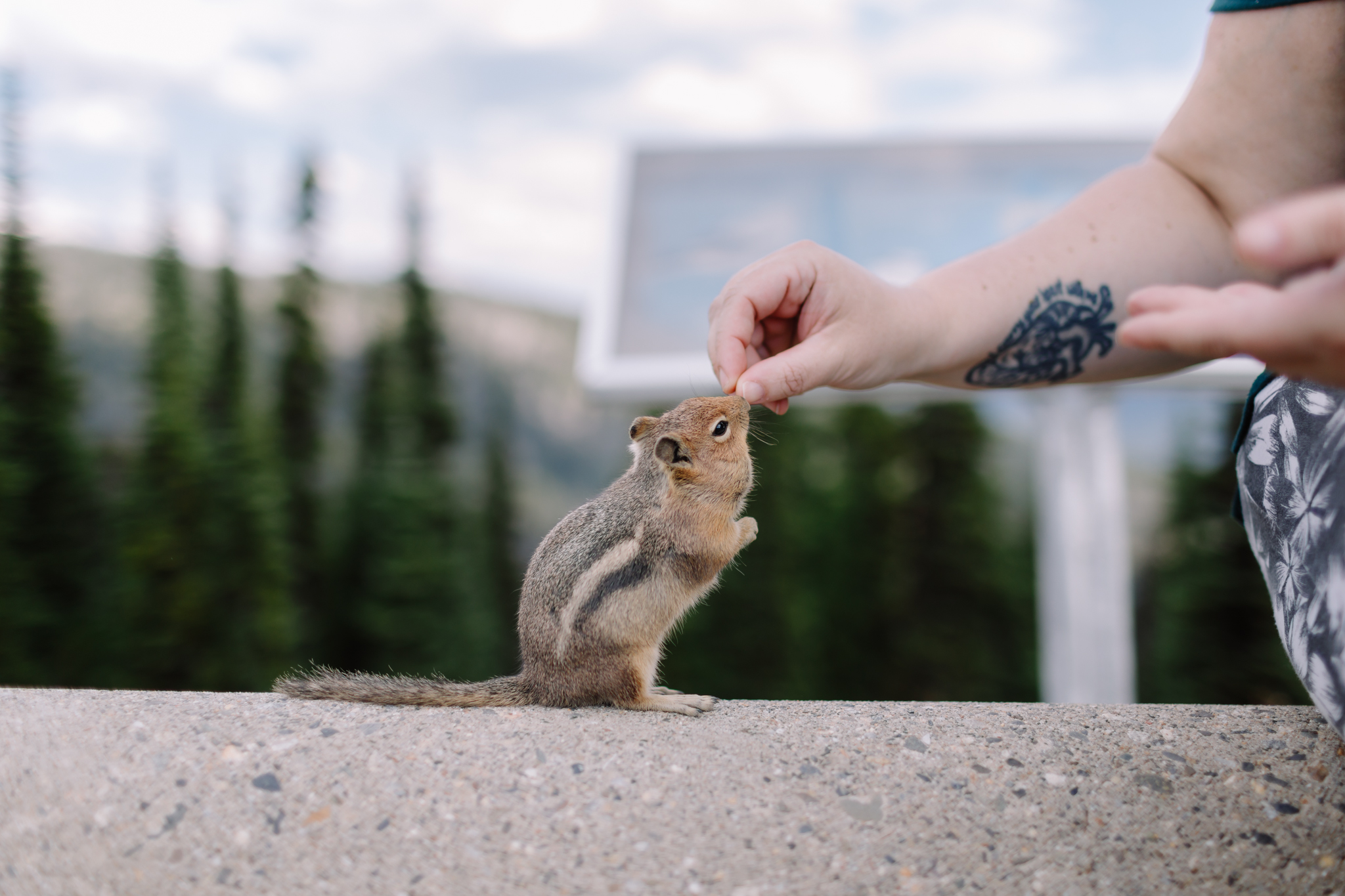 Chipmunk eats from woman's hand