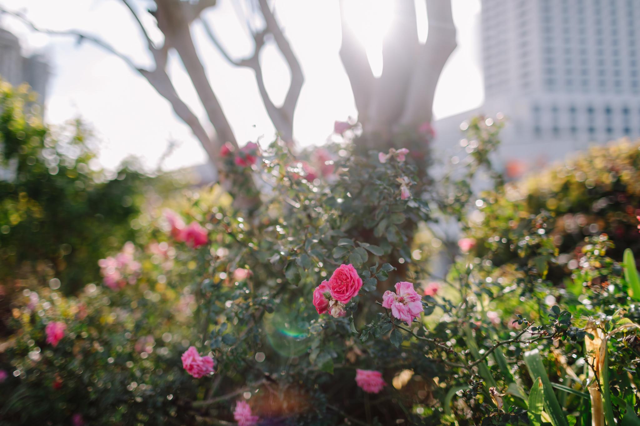 Sunlight on roses in New Orleans